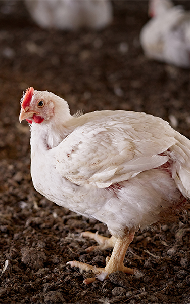 Wayne Farms Chicken Care - All Natural Nutrition